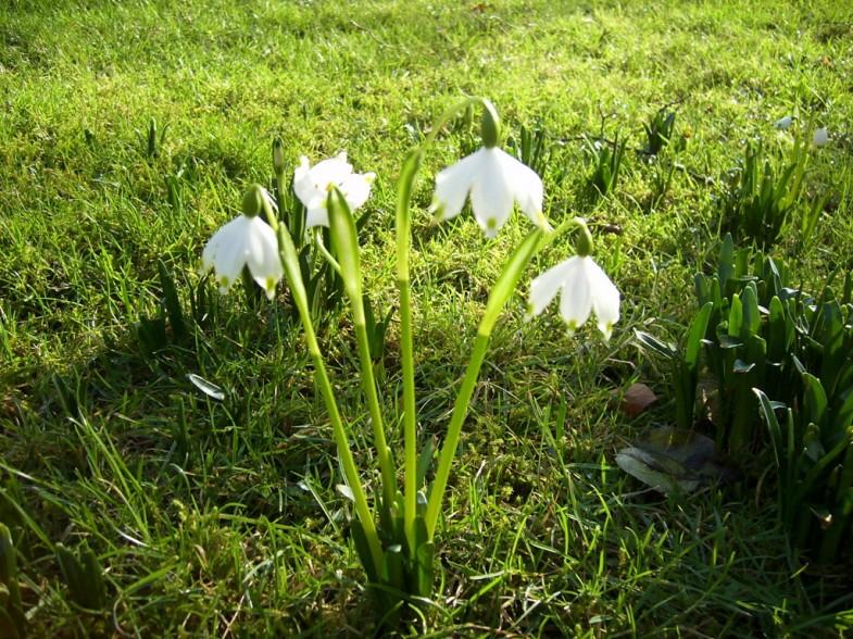 Frühling Märzbecher Frühlingsblumen